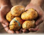 Wholesale price of fresh holland potato without chemical fertilizer